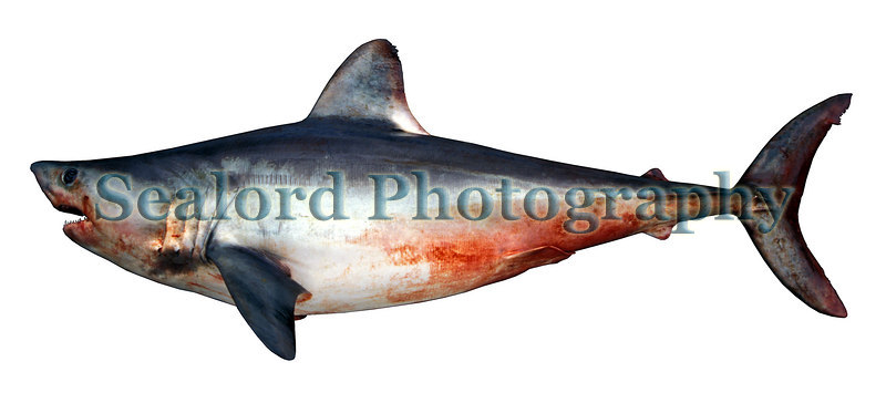 Porbeagle shark, Lamna nasus, caught in Guernsey waters