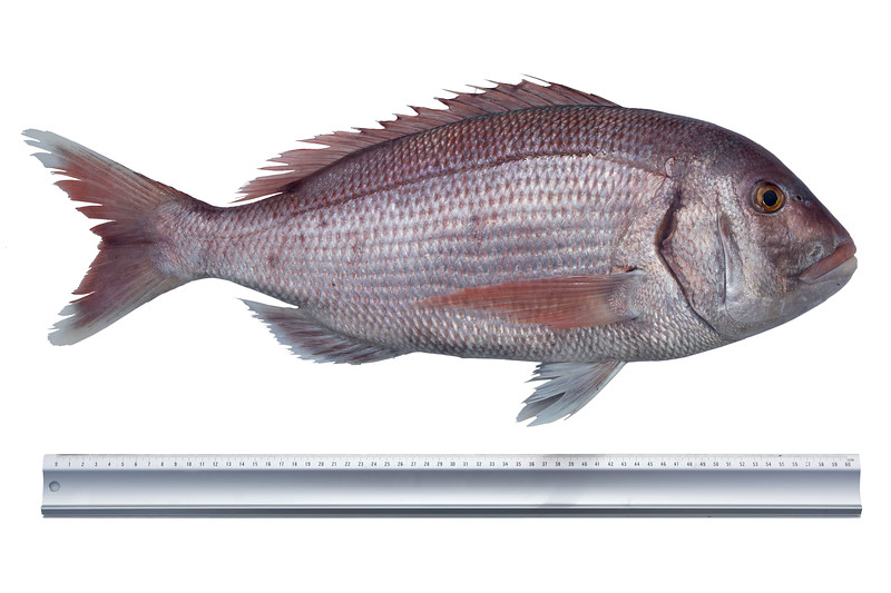 "This couch's sea bream, Pagrus pagrus, captured by Richard Le Prevost on 9 September 2011 weighed 4205 grams.  At the time of capture this was a British angling record.<br /> <br /> This fish is known as a red porgy in the USA and the FAO of the United Nations refers to it as a common sea bream.  In Britain the fish is named after Dr. Jonathan Couch from Polperro, Cornwall, who first identified the fish from a single specimen, which was captured three miles south of Polperro, Cornwall on the 8 December 1842.  Dr Couch was the author of the four volume ""The History of the fishes of the British Isles.""<br /> <br /> File no. 090911 9478<br /> ©RLLord<br /> fishinfo@guernsey.net"