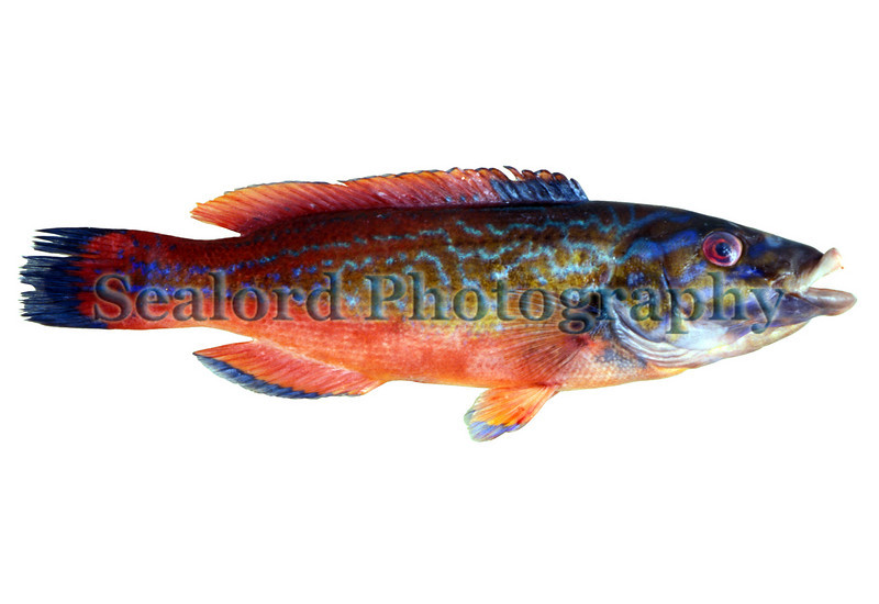 cuckoo wrasse Labrus mixtus male 051096 21-155 smg