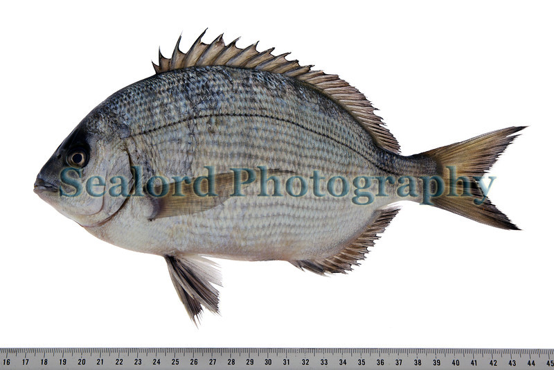 This white bream, Diplodus sargus, was caught by Troy Waterman fishing off Ozanne Steps north of Fermain Bay on Guernsey's east coast on 26 October 2011. The fish had a total weight of 14 ounces and 8 drams. <br /> <br /> It had a total length of 264 mm, a fork length of 232 mm, and a standard length of 199 mm.  <br /> <br /> White bream are recent arrivals to Guernsey waters; they are being caught with increased frequency.<br /> <br /> File No. 261011 8550<br /> fishinfo@guernsey.net<br /> All Rights Reserved ©RLLord
