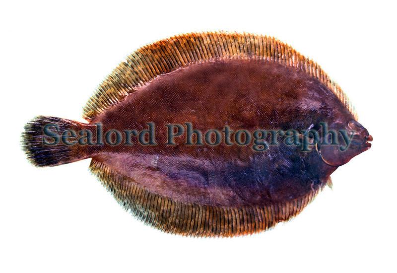 lemon sole Microstomus kitt 180595 4-183 smg