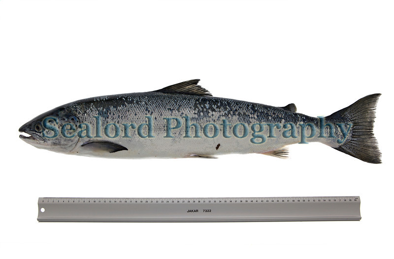 An Atlantic salmon, Salmo salar, caught by Daniel Vaudin (Stan) off the coast of Guernsey at Pembroke at about 1 pm on 1 June 2013. The salmon had a total length of 70.0 cm and a total weight of 5 lbs. 8 oz and 6 drams on the digital weighing scales at Seafresh fish mongers on Castle Emplacement, St Peter Port, Guernsey. <br /> <br /> File No. 010613 0681<br /> All Rights Reserved ©RLLord<br /> fishinfo@guernsey.net<br /> .