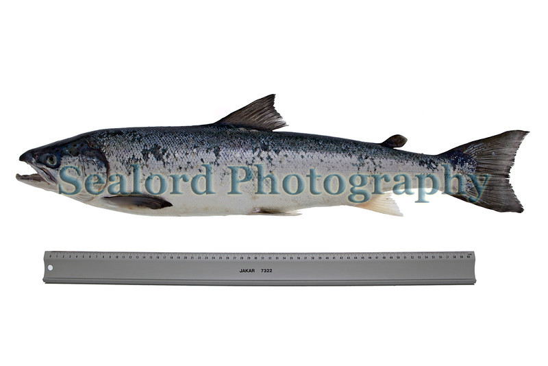 An Atlantic salmon, Salmo salar, caught by David Philipp off the Pembroke shore, Guernsey on 11 April 2013.<br /> <br /> File No. 110413 6822<br /> All Rights Reserved ©RLLord<br /> fishinfo@guernsey.net