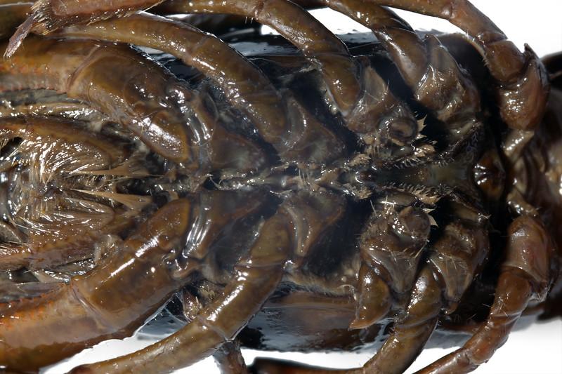 crayfish ventral cephalothorax 9765 smg