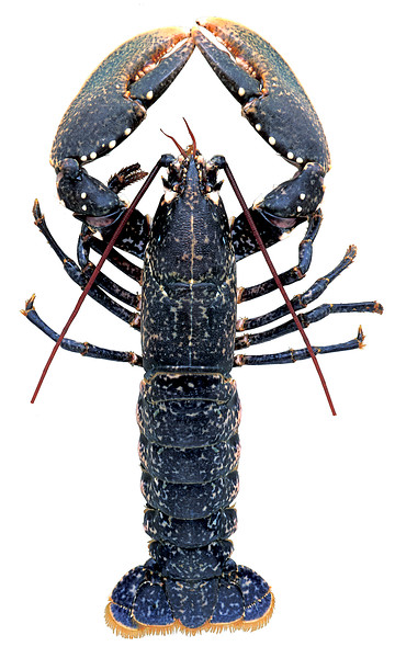 This European lobster, Homarus gammarus, entered a Clive Brown lobster pot off the south coast of Guernsey on the 17 November 1998.  What makes this lobster so unusual is that it is a double-crusher clawed lobster.  Nearly all lobsters have one crusher claw and one pincer claw.  Double-crusher clawed lobsters are rarer than double-pincer clawed lobsters.<br /> File No. 35-252 <br /> ©RLLord<br /> fishinfo@guernsey.net