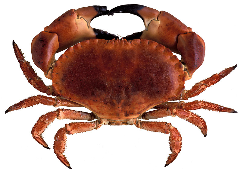 A male brown crab or edible crab, Cancer pagurus, from Guernsey. File No. 16-290<br /> ©RLLord<br /> fishinfo@guernsey.net