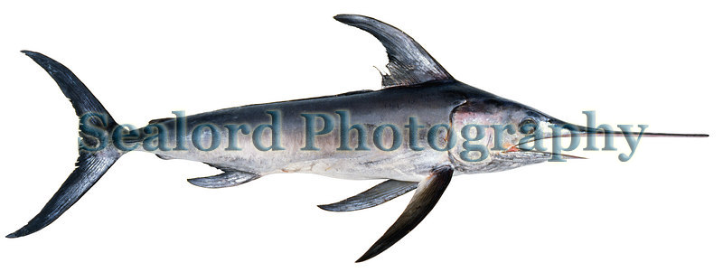 A swordfish, Xiphias gladius, delivered to Fulton Fish Market in New York City.<br /> Photographed in May 1989.<br /> File No. 0589 25<br /> ©RLLord<br /> fishinfo@guernsey.net