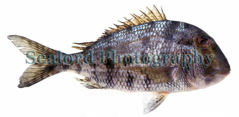 grass porgy, Calamus arctifrons, from Florida delivered to Fulton Fish Market in 1994.<br /> ©RLLord<br /> fishinfo@guernsey.net