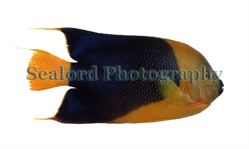 The rock beauty, Holacanthus tricolor, came in a box as part of a mixed consignment of Caribbean reef fish into the Fulton Fish Market in New York in April 1989.  Caribbean reef fish were imported into New York to supply New York's Caribbean community.<br /> File No. 0489 18<br /> ©RLLord<br /> fishinfo@guernsey.net