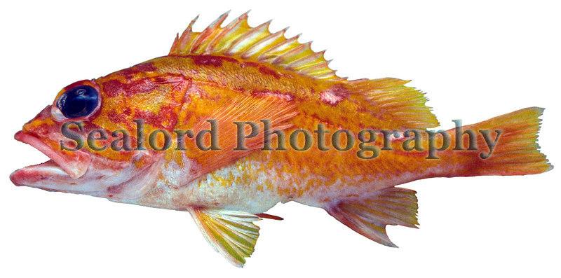 Rosy Rockfish, Sebastes rosaceus