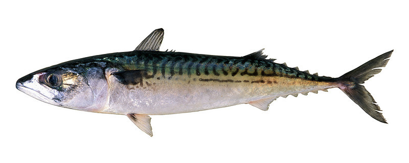 Atlantic mackerel, Scomber scombrus, from Guernsey waters.<br /> Photographed 23 March 1999.<br /> File No. 7-287<br /> ©RLLord<br /> fishinfo@guernsey.net