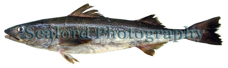 sablefish or black cod - Anoplopoma fimbria