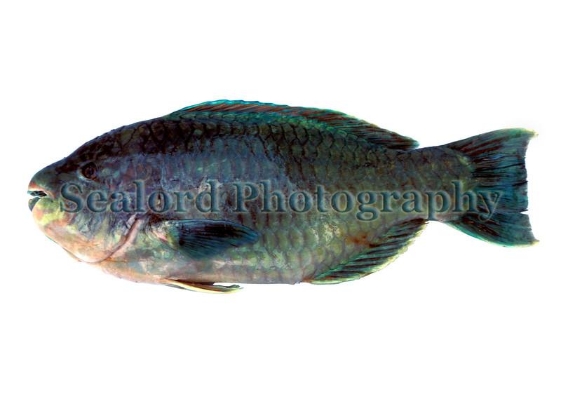 azure parrotfish Scarus compressus Mexico 0587 smg