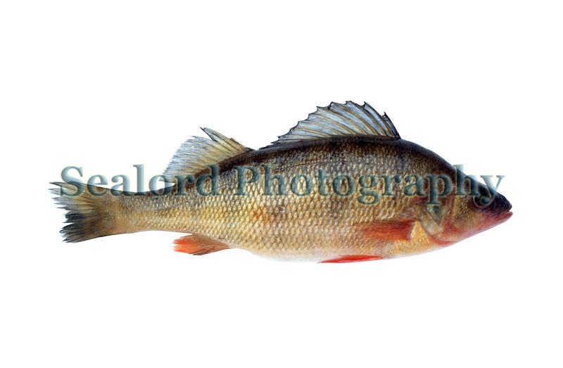 yellow perch Perca flavescens FFM 1089 7 smg