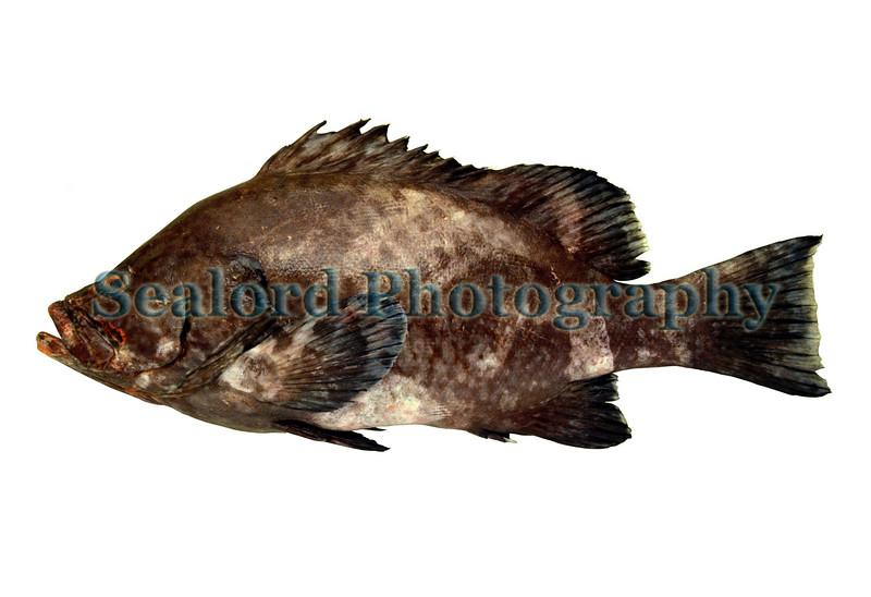 Marbled grouper - Epinephelus inermis