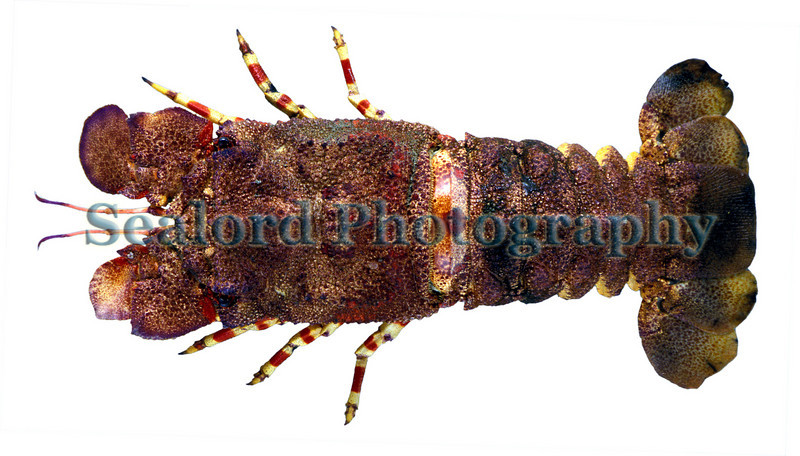 Ridged slipper lobster - Scyllarides nodifer