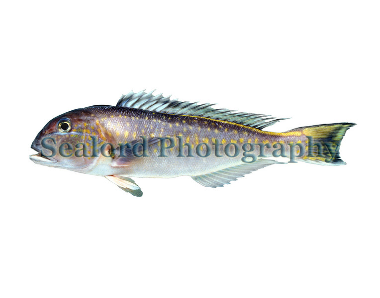 Brazilian tilefish - Lopholatilus villarii