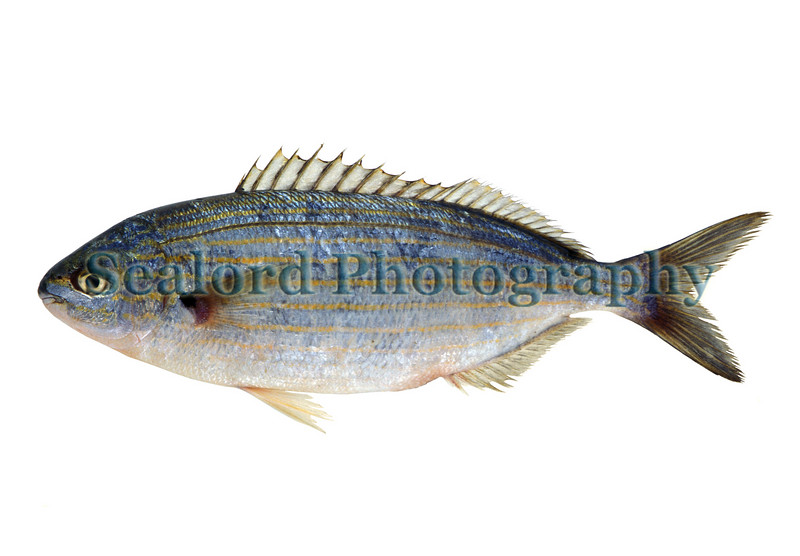 This seabream or porgy known as salema, Sarpa salpa, was imported into Fulton Fish Market in New York City from Greece in November 1994.  Seabreams or porgies, family sparidae, are hermaphrodites.  This species beings life as a male and becomes a female with size and age.<br /> File No. 1194<br /> ©RLLord<br /> fishinfo@guernsey.net