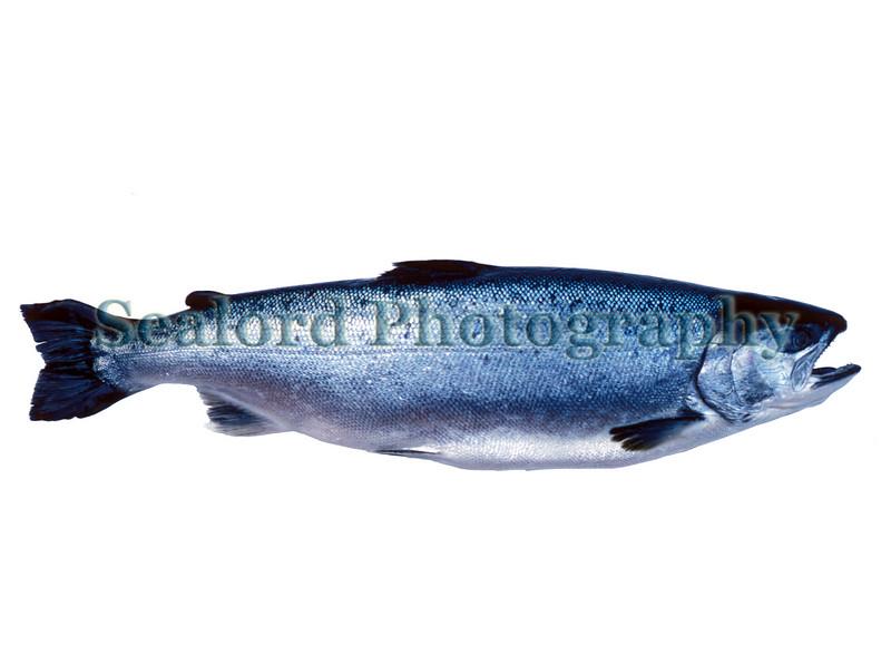 Coho or silver salmon - Oncorhynchus kisutch