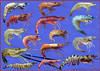 Some commercial shrimp or prawn species
