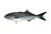 Bluefish - Pomatomus saltatrix
