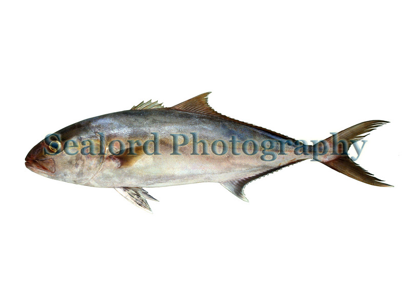 A greater amberjack, Seriola dumerili, from Elizabeth City, North Carolina sold at Fulton Fish Market on the 18 November 1992.  This fish had a total length of 841 mm and a total weight of 5520 grams or 12.17 lbs. <br /> File No. 181192 8<br /> ©RLLord<br /> fishinfo@guernsey.net