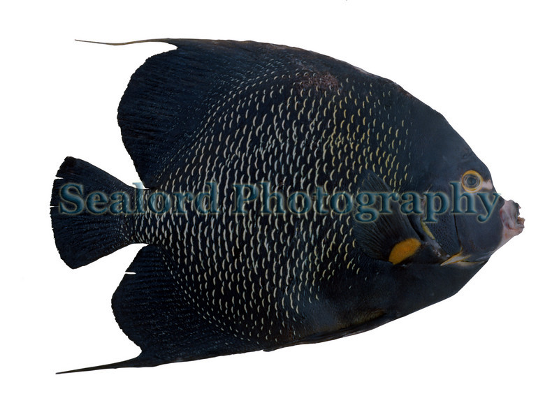 This is an image of an adult french angelfish, Pomacanthus paru, that was shipped to the Fulton Fish Market in May 1989.  During the late 1980s several Fulton Fish Market wholesalers received Caribbean reef fish to supply the Caribbean community living in New York.<br /> File No. 0589 37<br /> ©RLLord<br /> fishinfo@guernsey.net