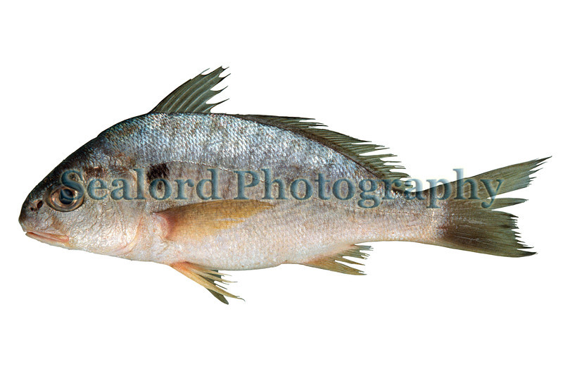 This spot, Leiostomus xanthurus, was delivered from Indian River, Florida into Fulton Fish Market, New York on 23 April 1993.  The fish had a total weight of 0.45 lbs. and a total length of 239 mm<br /> File No. 10 230493<br /> ©RLLord<br /> fishinfo@guernsey.net
