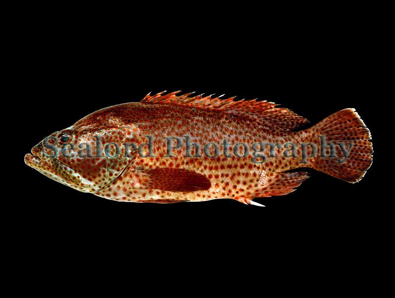 Graysby - Epinephelus cruentatus