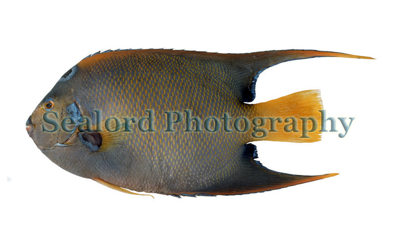 ©RLLord Sealordphotography.net french angelfish Pomacanthus paru FFM