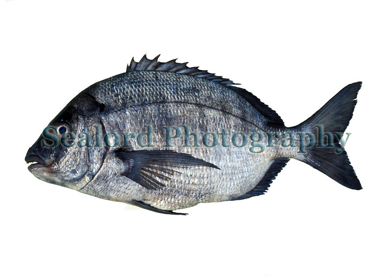 This white seabream, Diplodus sargus, was imported from Morocco into Fulton Fish Market in New York City in November 1990.  The seabreams are called porgies in the USA.  They belong to the family sparidae.  The white seabream is principally a Mediterranean fish but it is moving north and has now been seen and captured in the British Channel Islands at a latitude of 49 degrees north.<br /> File No. 9 1190 <br /> ©RLLord<br /> fishinfo@guernsey.net