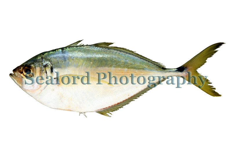 An Atlantic bumper, Chloroscombrus chrysurus, sold at the Fulton Fish Market in New York City in October 1991.  The Atlantic bumper is a member of the jack family, carangidae.<br /> File No. 1091<br /> ©RLLord<br /> fishinfo@guernsey.net