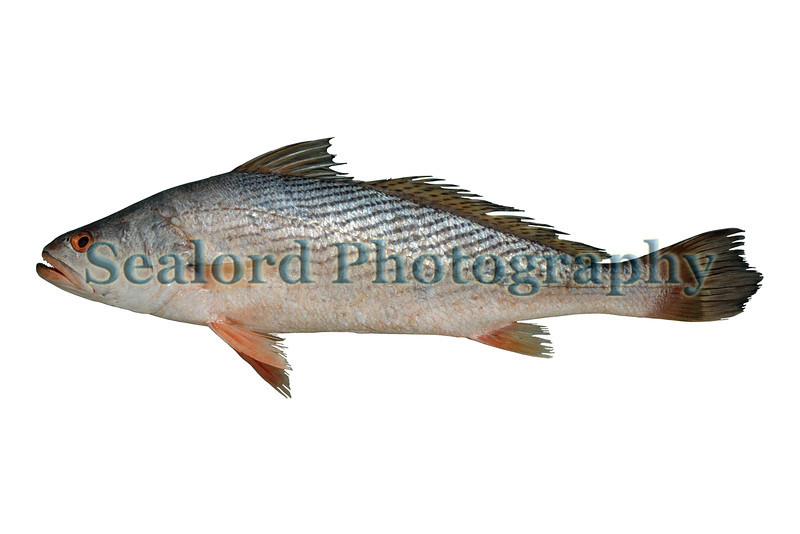 A law croaker, Pseudotolithus (Pseudotolithus) brachygnathus imported from Ghana into Fulton Fish Market, New York on 18 May 1993.  The gutted fish weighed 1637 grams and had a total length of 573 mm.<br /> File No. 180593 26<br /> ©RLLord<br /> fishinfo@guernsey.net