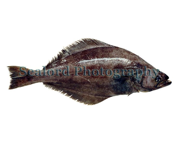greenland halibut Reinhardtius hippoglossoides 0888 7 smg
