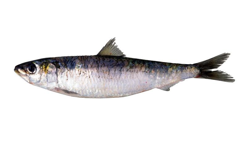 Pilchard - Sardina pilchardus