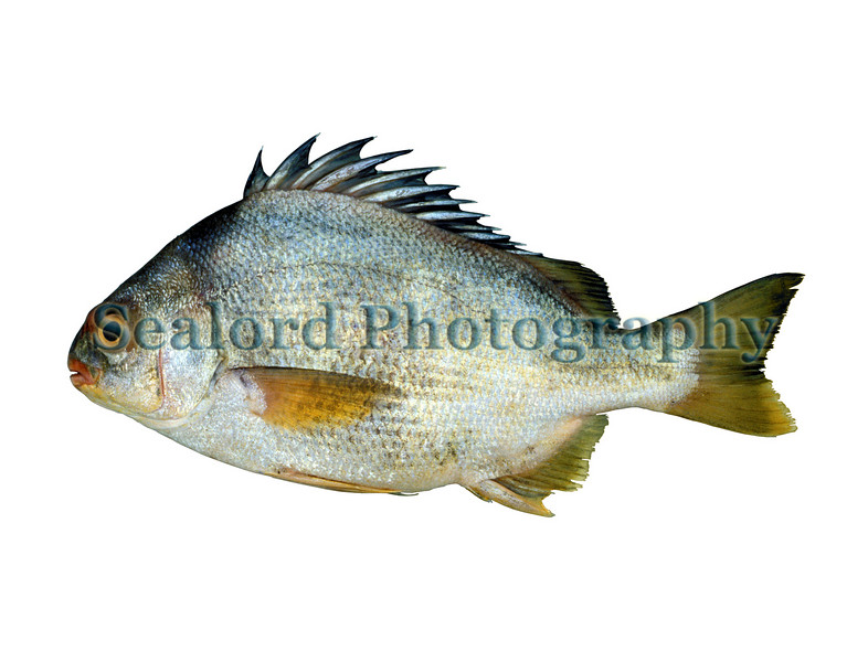 A torroto grunt, Genyatremus luteus, imported from Venezuela into New York's Fulton Fish Market in November 1990<br /> File No. 1190 <br /> ©RLLord<br /> fishinfo@guernsey.net