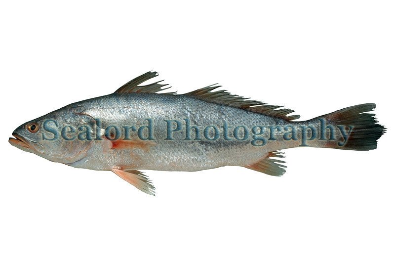 A Pelona weakfish, Cynoscion stolzmanni, imported from Ecuador into Fulton Fish Market on 10 December 1993.  The gilled and gutted fish weighed 1292 grams and had a total length of 550 mm.<br /> File No. 101293 25<br /> ©RLLord<br /> fishinfo@guernsey.net