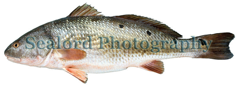 The red drum, Sciaenops ocellatus, which belongs to the croaker or drum family, sciaendae, is a popular food and sport fish in the southern USA.  Its popularity as a seafood became national in the USA with Paul Prudhomme's blackened redfish recipe.  Soon there wasn't enough redfish to satisfy demand and State and Federal officials had to restrict the harvest.<br /> This red drum was sold at Fulton Fish Market in New York City on 21 August 1992.<br /> File No. 210892<br /> ©RLLord<br /> fishinfo@guernsey.net