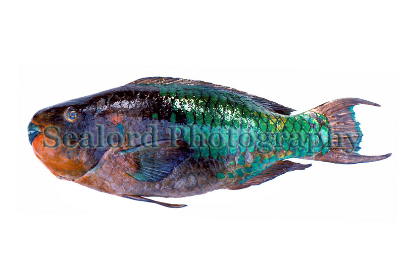 A large rainbow parrotfish, Scarus guacamaia, imported from the Caribbean coast of Mexico into Fulton Fish Market, New York in May 1990.<br /> File No. 0590<br /> ©RLLord<br /> fishinfo@guernsey.net