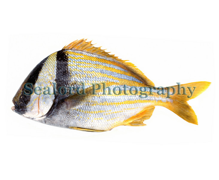 A porkfish, Anisotremus virginicus, which is in the grunt family, haemulidae, sold at Fulton Fish Market in New York City in August 1989.<br /> File No. 0889<br /> ©RLLord<br /> fishinfo@guernsey.net