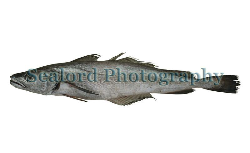southern hake - Merluccius australis