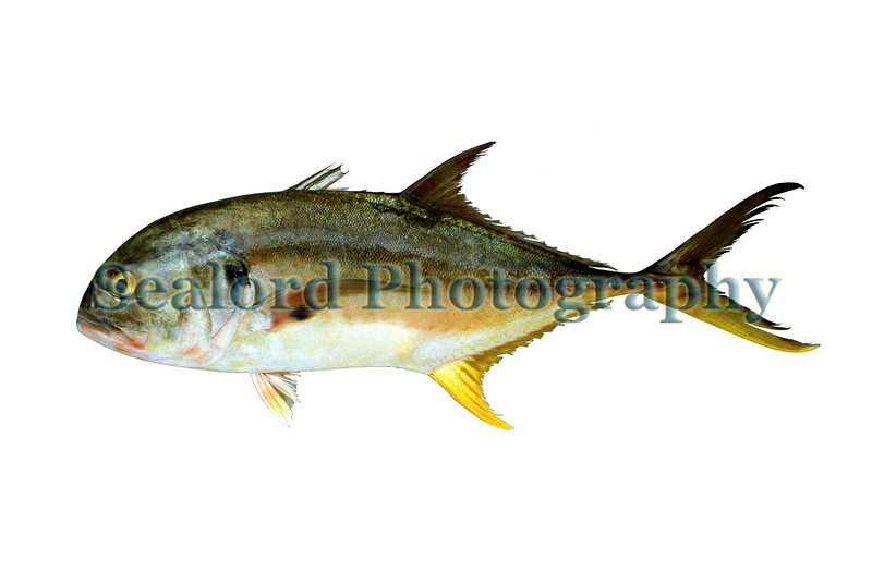 This large jack crevalle, Caranx hippos,  was sold at Fulton Fish Market in New York City on the 20 August 1992.  Jack crevalle is one of the most abundant southern jacks to enter the New York seafood market.<br /> File No.  200892<br /> ©RLLord<br /> fishinfo@guernsey.net