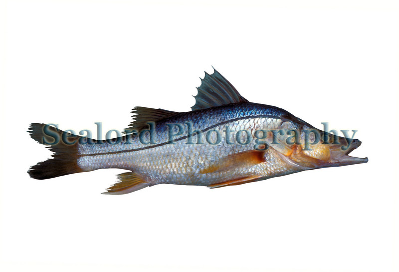 A swordspine snook, Centropomus ensiferus, that sold at Fulton Fish Market, New York City in July 1990.<br /> File No. 0790 18 <br /> ©RLLord<br /> fishfinfo@guernsey.net