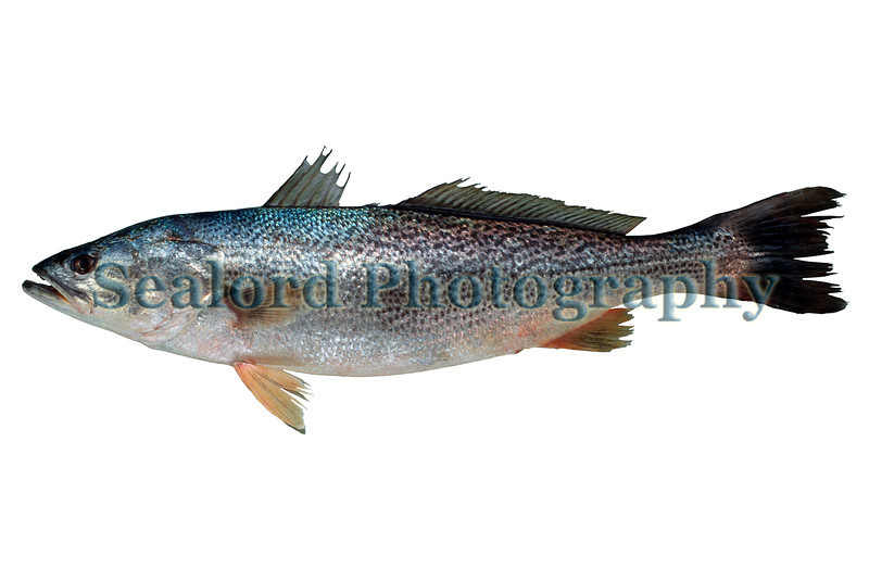 The eastern US seaboard and northern Gulf of Mexico weakfish, Cynoscion regalis, is a seafood favourite.  This individual was shipped from Virginia into Fulton Fish Market, New York on 15 April 1993.  The fish had a total weight of 5.00 lbs. and a total length of 638 mm<br /> File No. 150493 33<br /> ©RLLord<br /> fishinfo@guernsey.net
