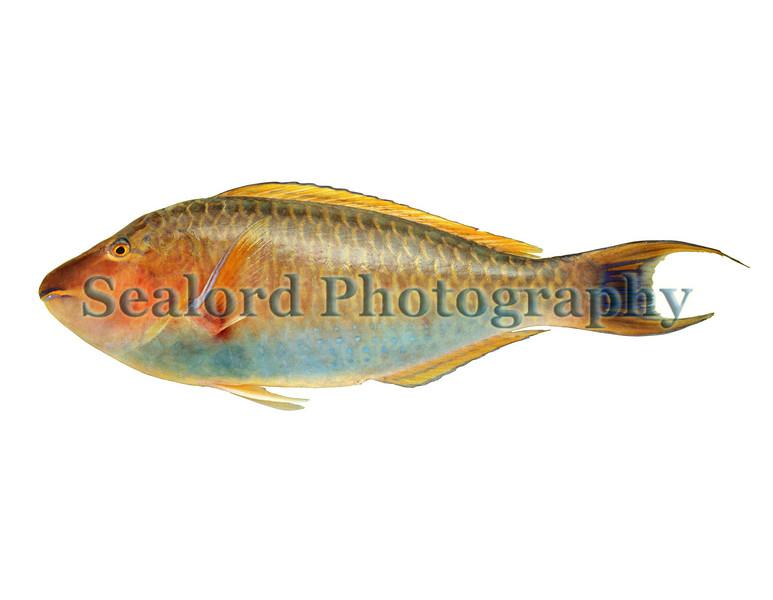 longnose parrotfish Hipposcarus harid 1091 smg