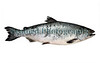 King salmon - Oncorhynchus tshawytscha
