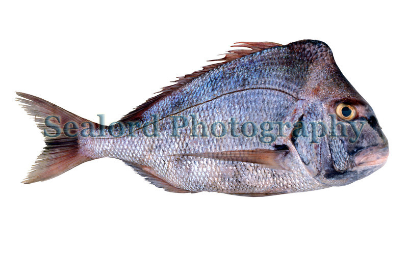 A king soliderbream, Argyrops spinifer, imported from Oman into Fulton Fish Market, New York in April 1989.  The fish weighed 2948 grams.<br /> File No. 23 0489<br /> ©RLLord<br /> fishinfo@guernsey.net