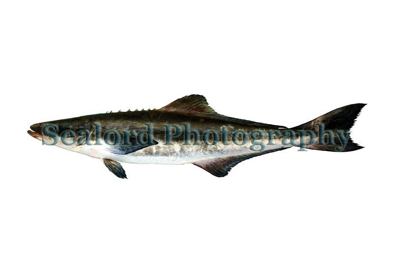 Cobia - Rachycentron canadum