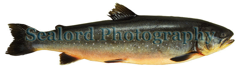A farm raised arctic char, Salvelinus alpinus, imported from Iceland and sold at Fulton Fish Market in New York City in October 1991.<br /> File No. 1091 3 <br /> ©RLLord<br /> fishinfogsy@gmail.com