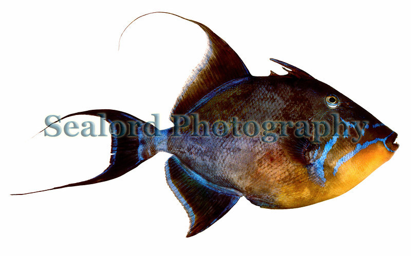 A queen triggerfish, Balistes vetula, delivered to Fulton Fish Market in New York from the Caribbean.<br /> ©RLLord<br /> fishinfo@guernsey.net